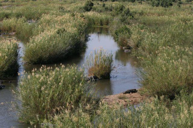 krokodillen i vand